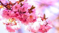 fondo en hd flor de cereza