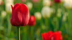 fondo para ordenador - tulipanes en hd