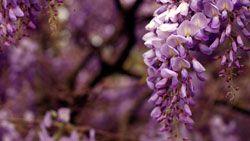 glicinas flores