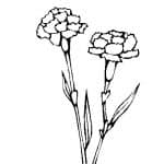 dibujo de claveles para colorear