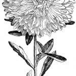 flor aster para colorear