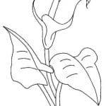 dibujo de flor cala, también conocida como flor de alcatraz para colorear