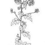 dibujo crisantemo