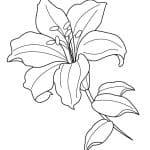dibujo de flor de lirio para colorear