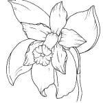 orquidea dibujo
