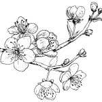 dibujo de rama de cerezo japones
