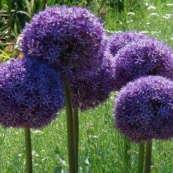 Semilla Allium giganteum