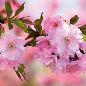 Póster flores de cerezo 91x61 cm