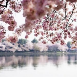 Papel pintado con lago y flores de almendro