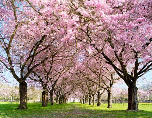 Fotomural Sakura tamaño: 350 x 270 cm/XXL