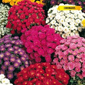 Reina margarita enana flor crisantemo