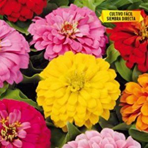 Zinnia Gigante Flor de Dalia variada