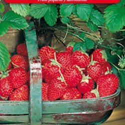 Fresas del Bosque