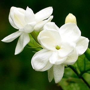 Semillas de Jazmín blanco